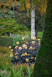 Autumn at Pettifers. Dahlia 'Moonshine' syn 'Moonfire' with Betula ermanii - gold birch- in the background