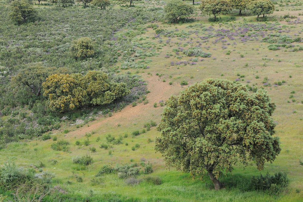 Dehesa forests with <br />  Holm oak (Quercus ilex) in Salamanca Region, Castilla y Le&oacute;n, Spain