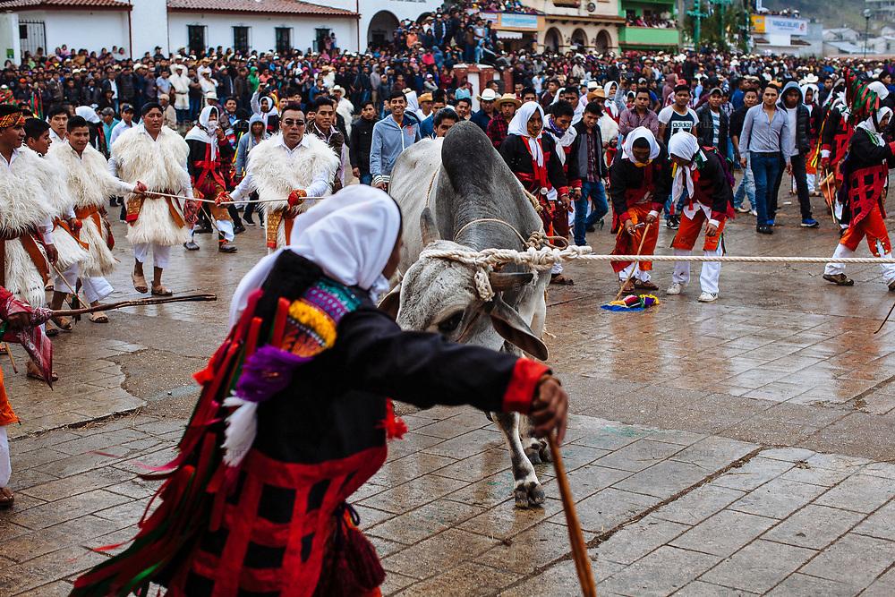 Mono retando al toro, que es conducido por los escribanos.