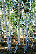 A Birch Grove offers Beauty and Solitude Near Sergeyevka in Northern Kazakhstan