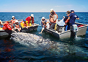 "A gray whale touching humans. San Ignacio Lagoon, Baja California, Mexico. Published in ""Light Travel: Photography on the Go"" book by Tom Dempsey 2009, 2010."