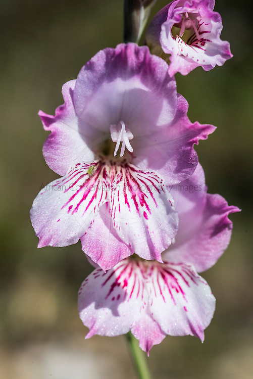 Gladiolus hirsutus, Fernkloof Nature Reserve, Hermanus, Western Cape, South Africa