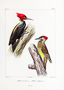 hand coloured sketch Top: Picus atriventris Bottom: Picus canipilcus From the book 'Voyage dans l'Amérique Méridionale' [Journey to South America: (Brazil, the eastern republic of Uruguay, the Argentine Republic, Patagonia, the republic of Chile, the republic of Bolivia, the republic of Peru), executed during the years 1826 - 1833] 4th volume Part 3 By: Orbigny, Alcide Dessalines d', d'Orbigny, 1802-1857; Montagne, Jean François Camille, 1784-1866; Martius, Karl Friedrich Philipp von, 1794-1868 Published Paris :Chez Pitois-Levrault et c.e ... ;1835-1847