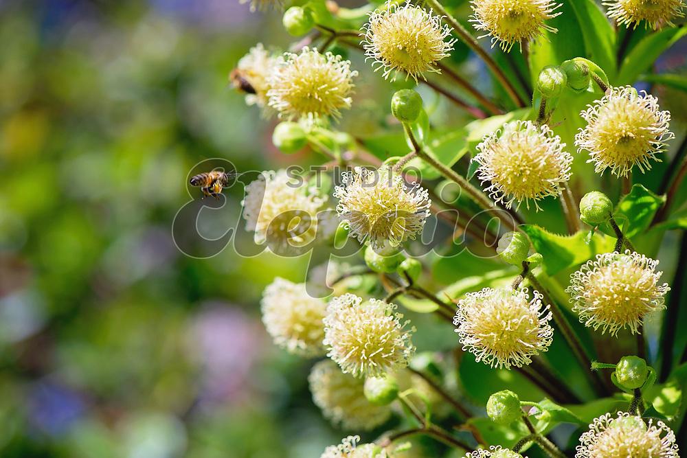 Iliau (Wilkesia gymnoxiphium) in bloom. Photographed in Waimea Canyon State Park, Kauai, Hawaii.