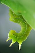 Die Raupe der Herbst-Rauhaareule (Asteroscopus sphinx) (ein Nachtfalter) wird wegen der charakteristischen Körperhaltung der Raupe auch Sphinxeule genannt. |  Sprawler (Asteroscopus sphinx)