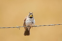 A Horned Lark rests on a fence wire and you see why they are named Horned Lark by the way their feather tufts rise.