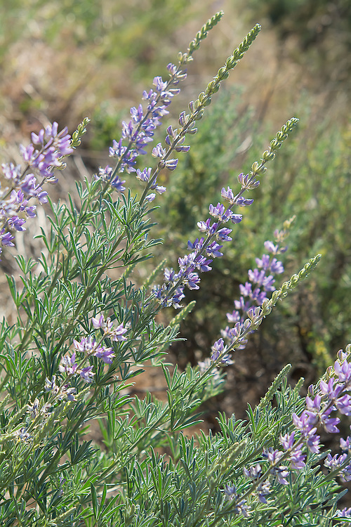 This beautiful native member of the pea family has an interesting story. Like all lupines, they have toxic properties, that vary from species to species. The silky lupine is highly toxic to sheep, and moderately toxic to cattle and horses. That said, bighorn sheep rely on it heavily as a food source, as do white-tailed deer, Columbia ground squirrels and other birds, mammals and insects. It seems that while it is toxic to imported domesticated non-native animals, it is completely safe and nutritious for native wildlife that has evolved alongside it.