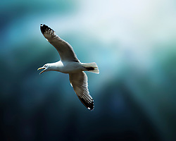 A Herring Gull In Flight Over Lake Superior. The American Herring Gull or Smithsonian Gull or is a large gull which breeds in North America, where it is treated by the American Ornithologists' Union as a subspecies of Herring Gull.