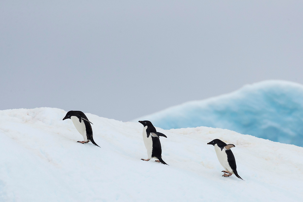 Adelie penguins waddles up an iceberg on Wednesday, Feb. 7, 2018 in Brown Bluff, Antartica. (Photo by Ric Tapia)