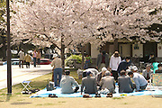 People enjoying a picnic with friends under cherry blossoms (Sakura; and hanami) in the spring at Nagoya Castle.
