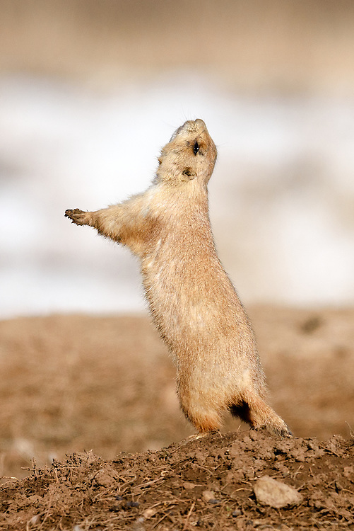 Black tailed prairie dog in yip-jump display