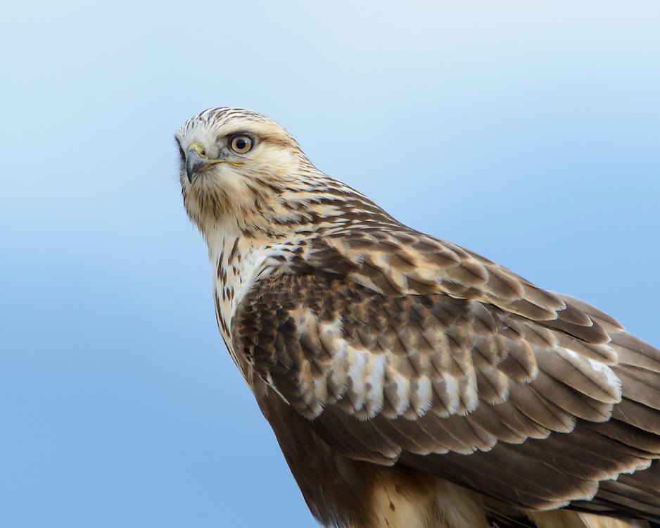 Rough-legged Hawk Portrait, Western Montana