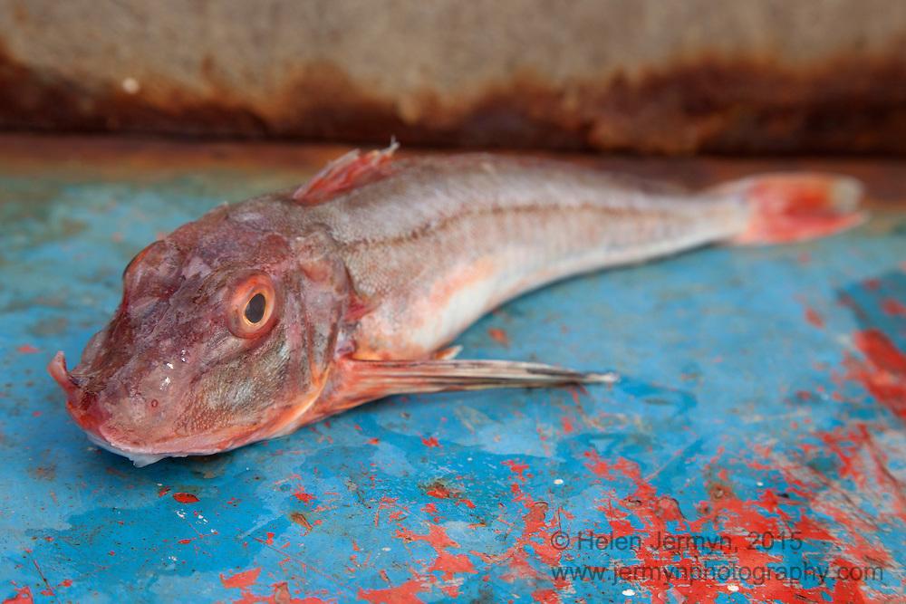 Gurnard, Lockies Fish