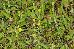 Herfstbitterling, Blackstonia perfoliata subsp. serotina