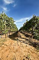 Per vendemmia si intende la raccolta delle uve da vino, in quanto nel caso delle uve da tavola si usa semplicemente il termine raccolta.  Il periodo di vendemmia varia tra luglio e ottobre (nell'emisfero settentrionale), e dipende da molti fattori, anche se in maniera generica si identifica con il periodo in cui le uve hanno raggiunto il grado di maturazione desiderato, cioè quando nell'acino il ra pporto tra la percentuale di zuccheri e quella di acidi ha raggiunto il valore ottimale per il tipo di vino che si vuole produrre. Se questo parametro è genericamente valido per le uve da tavola, nel caso di uve destinate alla produzione del vino è necessario considerare ulteriori parametri per decidere quando e come vendemmiare. Il momento della vendemmia può dipendere da diversi fattori : condizioni climatiche, zona di produzione e  tipo di vino che si vuole ottenere. I metodi di raccolta delle uve sono due: quello manuale, utilizzato per la produzione di vini di elevata qualità e degli spumanti metodo classico, in quanto è necessario operare una scelta selettiva dei grappoli e ciò comporta un inevitabile aumento dei costi di produzione;  e quello meccanico che ricorre ad agevolatrici, che velocizzano il lavoro manuale; e vendemmiatrici : delle vere e proprie macchine che vengono utilizzate per appezzamenti di piccole dimensioni sono generalmente delle macchine trainate accoppiate ad un trattore, per vigneti di dimensioni maggiori sono macchine semoventi. La raccolta dell'uva avviene in due maniere: con scuotimento verticale nelle macchine di origine americana, che necessitano di un filare GDC (Geneva Double Curtain) e a scuotimento laterale per le macchine francesi. Il prodotto che si stacca dalla pianta viene raccolto prima che tocchi terra, pulito da eventuali impurità e messo in una tramoggia che poi successivamente viene svuotata in rimorchi appositi. La vendemmia meccanica rappresenta alcuni vantaggi, infatti è più economica di quella manuale. Per produzioni che s