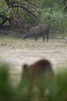 Wild boars (Sus scrofa) in early fog feeding on swamp plants during low water tide in flood plains of the Danube, Gornje Podunavlje Special Nature Reserve, Serbia