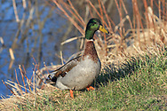 Drake mallards in wetland habitat