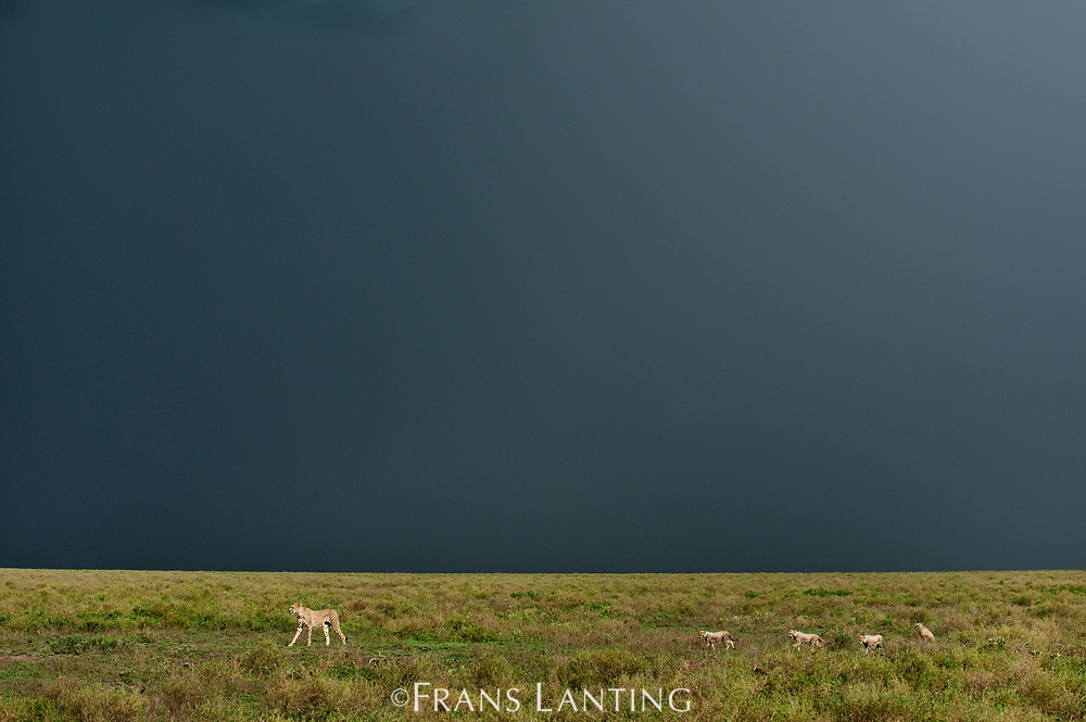 Cheetah mother with cubs and approaching thunderstorm, Serengeti National Park, Tanzania