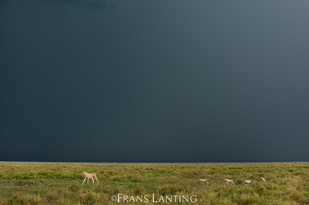 Cheetah mother with cubs and approaching thunderstorm, Acinonyx jubatus, Serengeti National Park, Tanzania