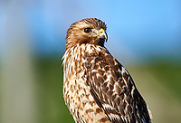 Red-shouldered Hawk (Buteo lineatus) close up, Point Reyes National Seachore, California, United States