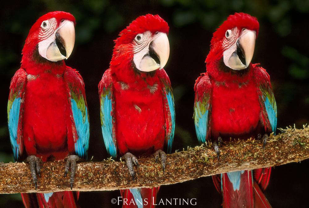 Red-and-green macaws, Ara chloropterus, Tambopata National Reserve, Peru