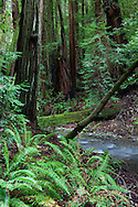 Redwood Creek meanders through the forest, Muir Woods National Monument