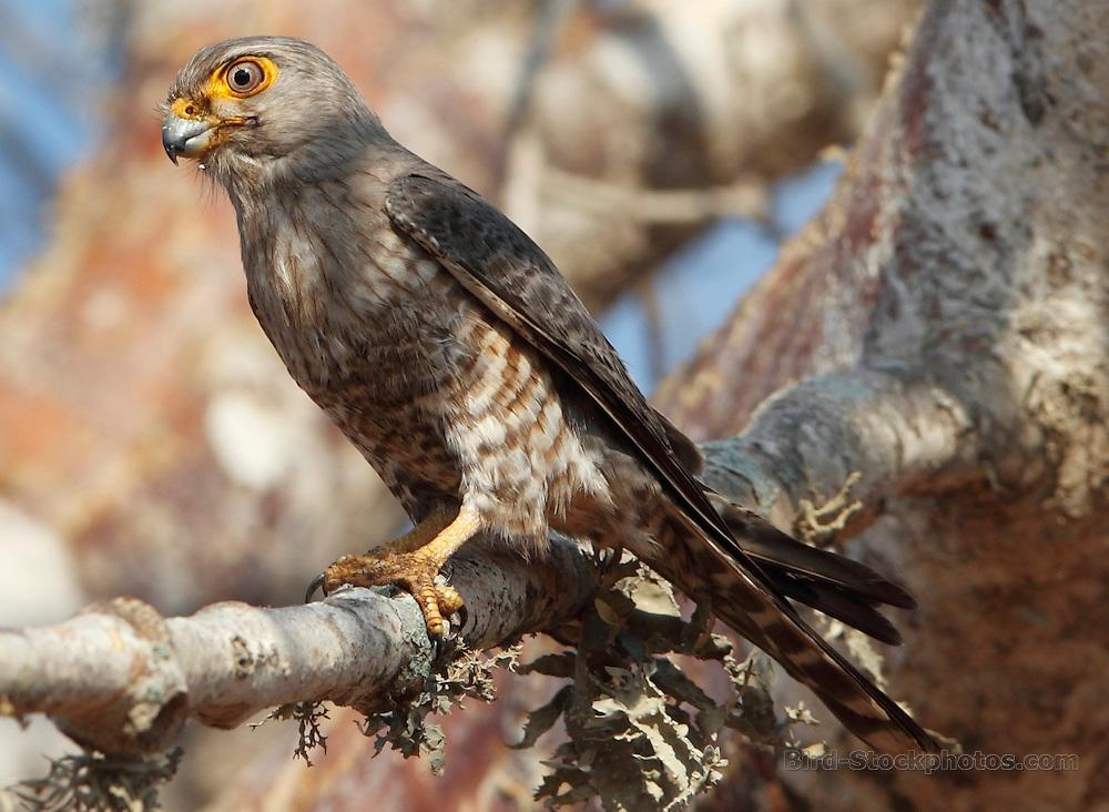 Banded Kestrel, Falco zoniventris, Madagascar, by Paul Ellis