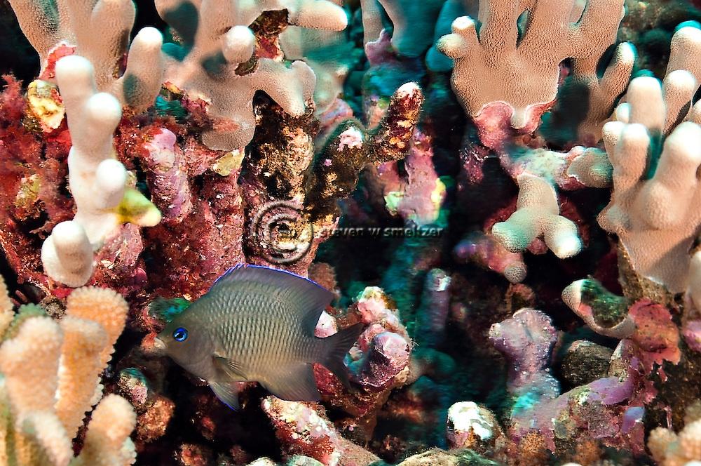 Blue-eye Damselfish, Plectroglyphidodon johnstonianus, Fowler & Ball, 1924, Lanai Hawaii