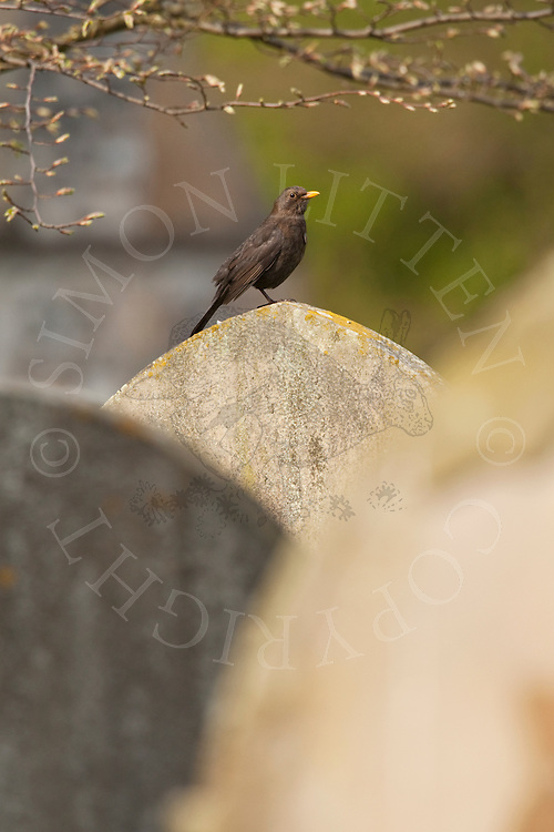 European Blackbird (Turdus merula) adult on gravestone in churchyard, UK