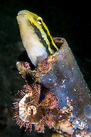 A Fangblenny pokes its head out of a discarded metal tube<br /> <br /> <br /> Shot in Indonesia