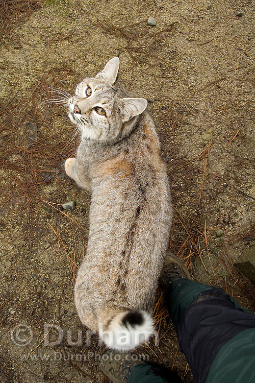 A tame bobcat (Lynx rufus) looks up to the photographer. Captive.