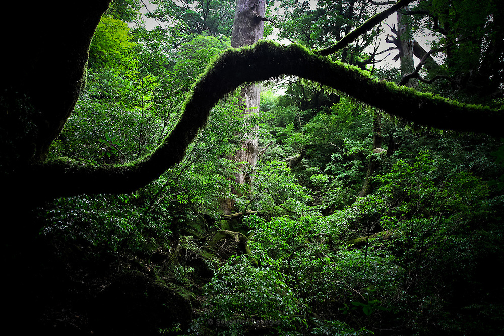 Japan, Yakushima - Mononoke forest, un tree make a shape of bow covered with moss