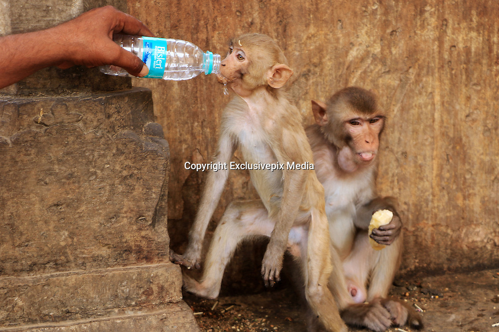 May 26, 2015 - Jaipur, Rajasthan, India - <br /> <br /> Macaques monkey drink water for quenches thirst  to beat the scorching heat at Galta ji Temple in Jaipur of Rajasthan State , India on 26,May 2015. Galta Ji temple is an ancient Hindu holy shrine pilgrimage with many holy natural water pond (Kund). The temple complex of Ramgopalji temple is colloquially known as Monkey temple (Galwar Bagh) in travel literature, due to the large tribe of monkeys who live here.<br /> ©Vishal Bhatnagar/Exclusivepix Media