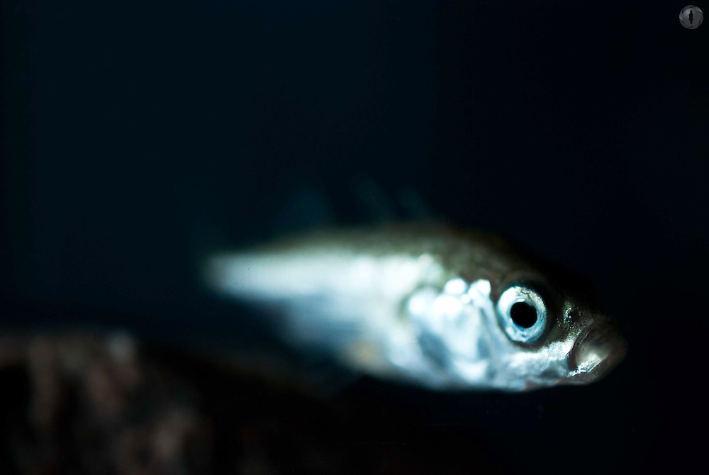 A three-spined stickleback swimming, with shallow focus on its eyes and its tail disappearing into the water.