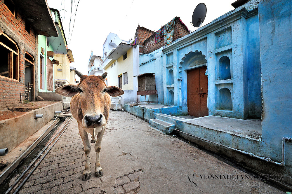 A holy cow in a street in Orchha