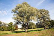 Willow trees in meadow, Shottisham, Suffolk, England