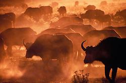 Africa, Botswana, Okavango Delta, herd of Cape Buffalo (Syncerus caffer) in dust at sunrise