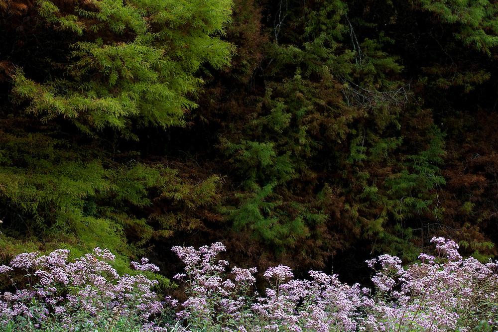 Camanducaia_MG, Brasil...Flores e arvores em uma paisagem em Camanducaia...Flowers and trees in the landscape in Camanducaia...Foto: LEO DRUMOND / NITRO.....