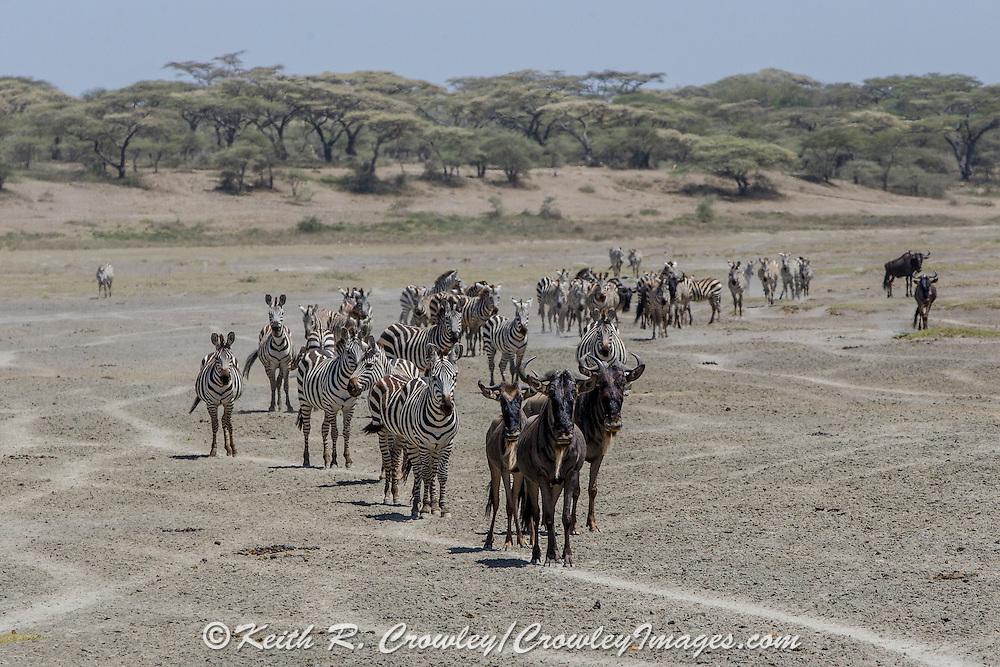Wildebeest and Zebras migrating in East Africa