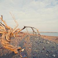 dead tree along fort peck lake