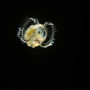 [captive] Veliger Larvae - A veliger is the planktonic larva of many kinds of marine and fresh-water gastropod molluscs, as well as most bivalve mollusks | Veligerlarve
