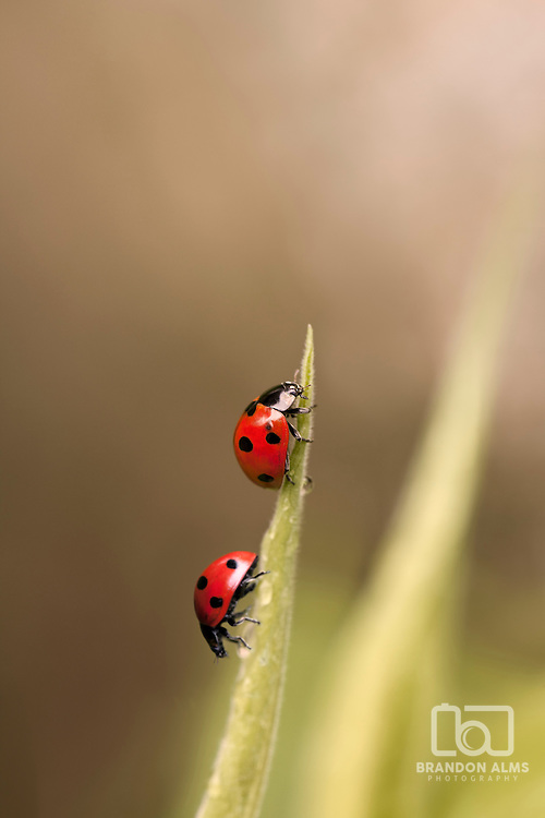 A macro shot of two ladybugs on a blade of grass.