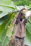 Young boy carries banana leaves in Ngiresi Village close to Arusha in Tanzania.