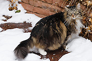 "Loki is a gentle 11 year old Maine-Coon like tabby rescued as a kitten from a field in Inglewood, California. Loki is an exceptionally good-natured cat with just a touch of mischief. He has criss-crossed the country several times and has lived overseas in the Netherlands where he acquired a second name ""mooi"" (beautiful). Note: For BIRDERS: Loki is an indoor cat with only closely supervised outdoor visits in a dog run where most of these photos are taken."