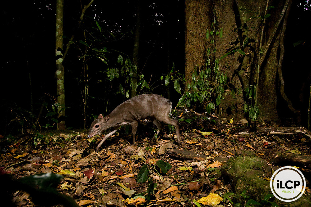 Blue Duiker (Philantomba monticola) in rainforest, Kibale National Park, western Uganda