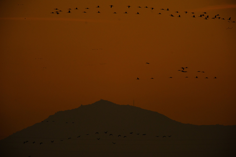 Birds head back to their bedding with Mount Diablo in the background, part of the sunset tour for the 5th Annual Winter Bird Festival at the Cosumnes River Preserve.