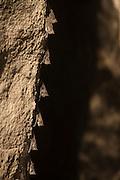 Long-nosed Bats (Rhynchonycteris naso)<br /> Savannah<br /> Rupununi<br /> GUYANA. South America<br /> RANGE: Mexico, Central & South America south to Bolivia and Mato Grosso, Brazil.
