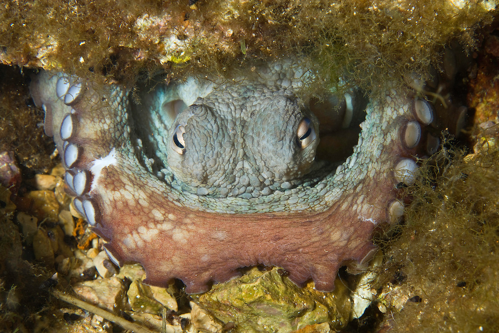 Octopus (Octopus vulgaris) inside its den, Larvotto Marine Reserve, Monaco, Mediterranean Sea<br /> Mission: Larvotto marine Reserve