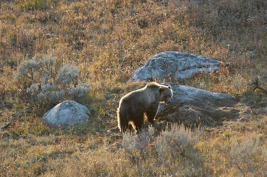 Grizzly Bear(Ursus horribilis) in Yellowstone National Park. Fall.