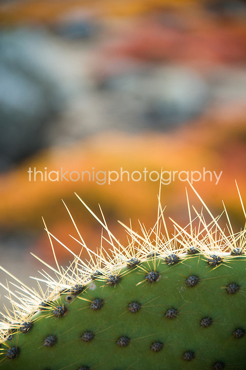Close up of cactus thorns, with bright fall colors in the background, Galapagos Islands